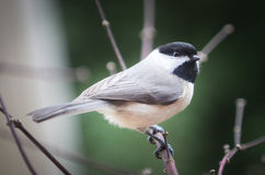 Chickadee. Bird sitting on a limb with its head turned to the right Royalty Free Stock Image
