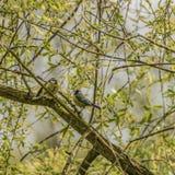 Chickadee bird on tree in spring sunny day royalty free stock image