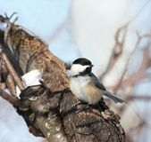 Chickadee bird in winter stock images