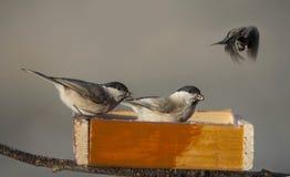 Chickadee birds Stock Photography