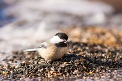 Chickadee. Black-capped chickadee eating some sunflower seeds Stock Photography