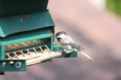 Chickadee, Black Capped Poecile atricapillus Stock Images