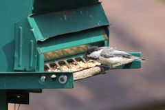 Chickadee, Black-Capped Poecile atricapillus on Feeder. Black-capped Chickadee Poecile atricapillus on a back yard bird feeder. It is a small, nonmigratory Royalty Free Stock Image