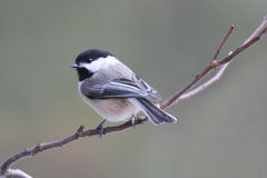Chickadee Stock Photo