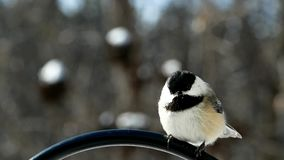 Chickadee black capped, Poecile atricapillus, single bird perched on metal pole.