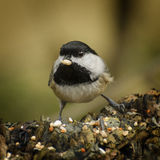 Chickadee. A black-capped chickadee takes a seed in its beak stock photo