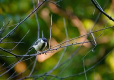 Chickadee, black capped titmouse caught singing stock images