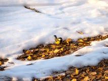 Chickadee bonito do pássaro, sentando-se no outono atrasado no parque nas folhas caídas imagem de stock royalty free