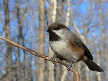 Chickadee boréal photographie stock