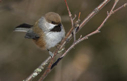 Chickadee boreal Fotografía de archivo
