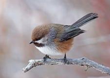 Chickadee boreale Immagini Stock