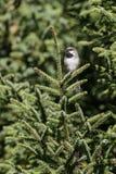 Chickadee boreale appollaiato Immagini Stock Libere da Diritti