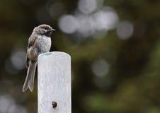 Chickadee boreale appollaiato su una posta di legno Fotografie Stock