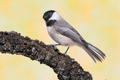 Chickadee on a Branch Stock Image