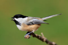 Chickadee on a Branch Royalty Free Stock Photography