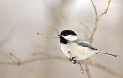 Chickadee on Branch Stock Photos