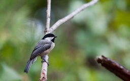 Chickadee on a branch Stock Photography