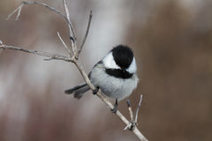 Chickadee on a branch Royalty Free Stock Photos