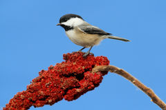 Chickadee on a Branch Royalty Free Stock Image