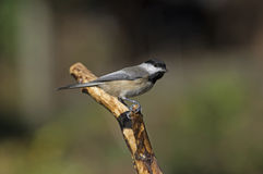 Chickadee on Branch Royalty Free Stock Image