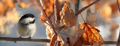 Chickadee in branch royalty free stock image