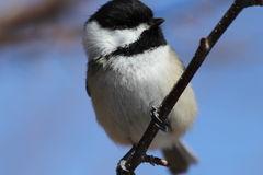 Black Capped Chickadee. This is a chickadee enjoying a sunny day in the woods Royalty Free Stock Photo