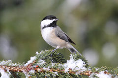 Chickadee on a branch with snow Stock Photos