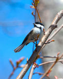 Chickadee on branch Stock Photography