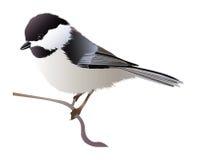 Chickadee capsulado negro Imagenes de archivo
