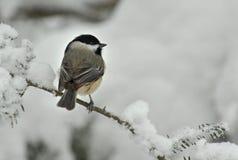 Chickadee capsulado negro en nieve del invierno Imagen de archivo