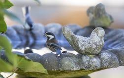 Chickadee Castaña-apoyado Imágenes de archivo libres de regalías