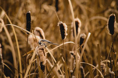 Chickadee on Cattail. A chickadee hunts for lunch on a fuzzy Cattail stock photography