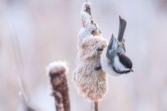 Chickadee and cattails. Monocotyledonous commonly known as cattails , provide a good feeding area for birds all year round royalty free stock image