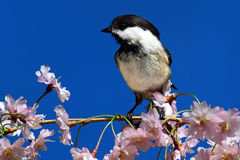 Chickadee With Cherry Blossoms Stock Image