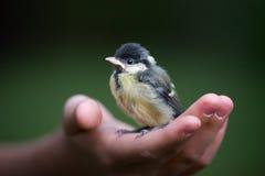 Chickadee stock photos