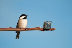 Chickadee with a christmas present. Royalty Free Stock Photo