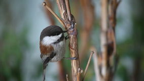 Chickadee close-up stock video footage