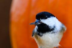 Chickadee com semente Imagem de Stock