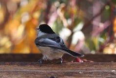 Chickadee couvert par noir sur Birdfeeder Images libres de droits