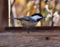 Chickadee couvert par noir sur Birdfeeder Photographie stock
