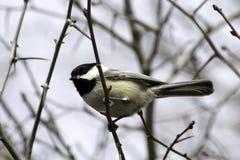Chickadee couvert par noir sur la branche Photos stock
