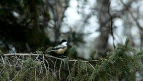 Chickadee czerń nakrywający, Poecile atricapillus, pojedynczy ptak na wiecznozielonej świerczyny gałąź zbiory wideo