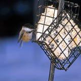 Chickadee d'alimentazione Fotografia Stock