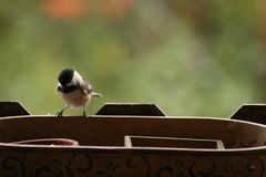 Chickadee d'amour de l'ONU amour de mésange/I Photo stock