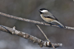 Chickadee de Blackcapped Fotografia de Stock Royalty Free