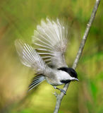Chickadee de Carolina Fotografia de Stock Royalty Free