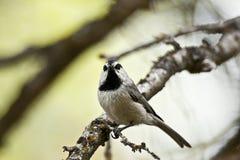 Chickadee de la montaña Fotos de archivo libres de regalías