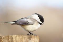 Chickadee de la vista lateral Foto de archivo libre de regalías