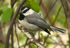 Chickadee de montagne Photos stock