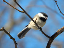 Chickadee in de winter Royalty-vrije Stock Afbeeldingen